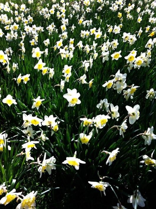 daffodils5